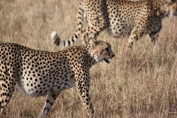 Guepardos en el Serengeti