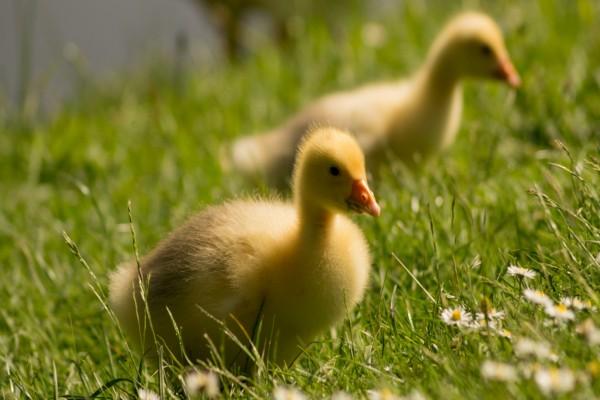 Dos patitos sobre la hierba