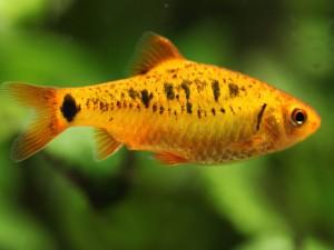 Un pequeño pez naranja