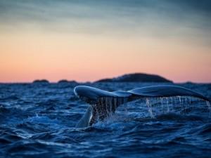 Postal: La cola de una ballena en la superficie del mar
