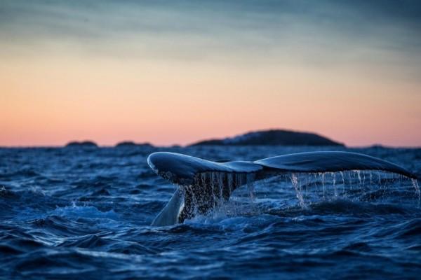 La cola de una ballena en la superficie del mar
