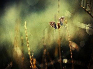 Postal: Mariposas sobre una espiga