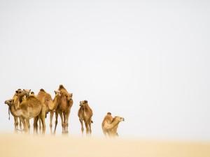 Postal: Camellos en el desierto