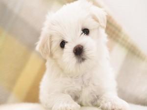 Postal: Un lindo cachorro blanco