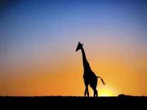 Postal: La silueta de una jirafa al amanecer