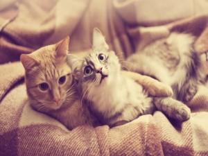 Postal: Dos gatos sobre una manta