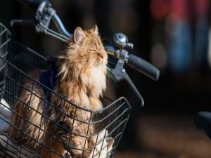 Gato en la cesta de una bicicleta