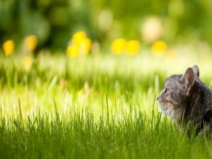 Postal: Gato expectante sobre la hierba