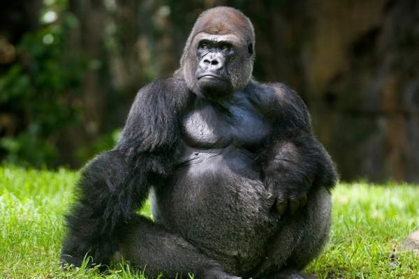 Un gorila sentado en la hierba