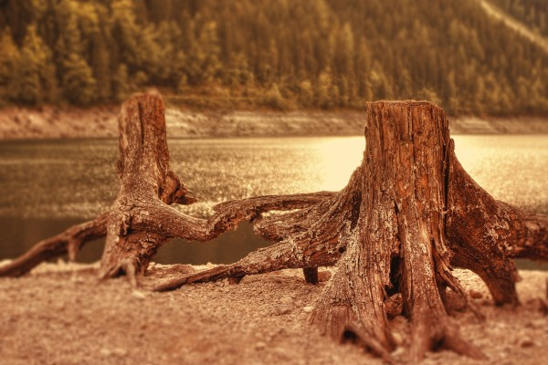 Raíces y tronco de un árbol talado