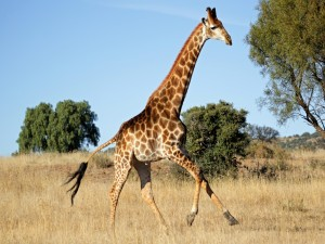 Una joven jirafa corriendo