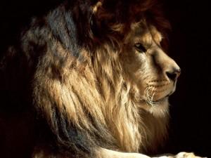 Postal: León en las sombras