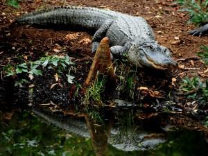Postal: Un cocodrilo reflejado en el agua