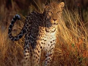 Postal: Sol y sombra sobre un leopardo