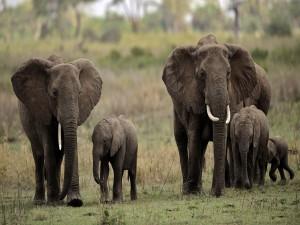 Postal: Pequeños elefantes caminando junto a sus madres