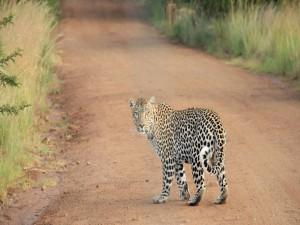 Postal: Leopardo en un camino