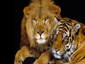 Postal: León junto a un tigre