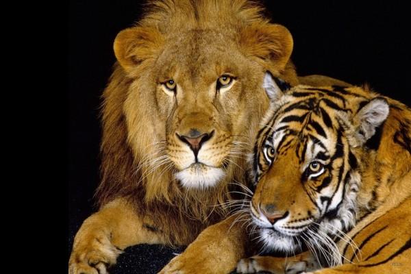 León junto a un tigre