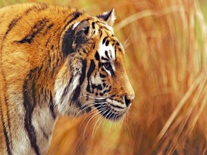 La cabeza de un hermoso tigre