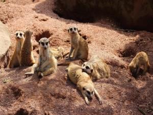 Postal: Colonia de suricatas