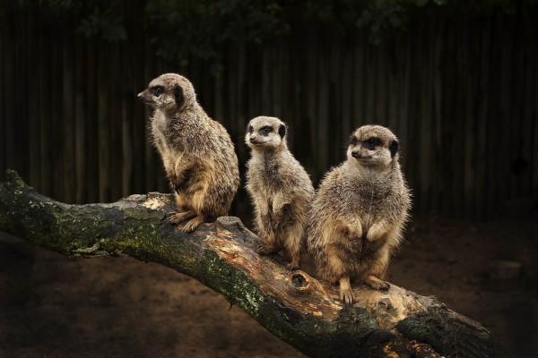 Tres suricatas sobre un tronco