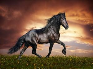 Hermoso caballo negro en un campo de flores