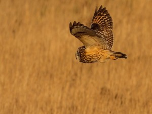 Un búho volando