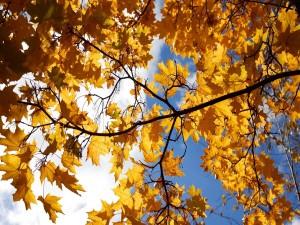 Postal: Hojas amarillas en las ramas de un árbol