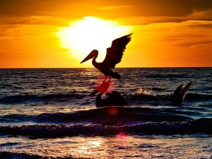 Pelícanos junto a una playa en la puesta de sol