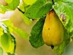 Gota de rocío sobre una pera amarilla