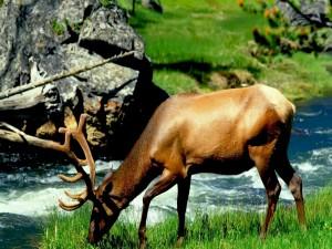 Postal: Un ciervo comiendo hierba junto a un río
