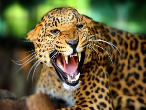 Un leopardo enfurecido