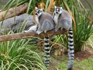 Dos lémures sentados en un tronco