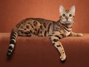 Postal: Gato de Bengala
