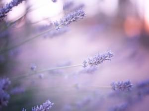 Postal: Hermosas flores de lavanda