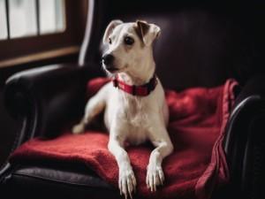 Perro sentado cómodamente en un sofá