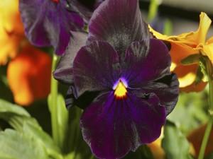 Pensamiento de terciopelo púrpura