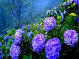 Postal: Hortensias en un gran jardín