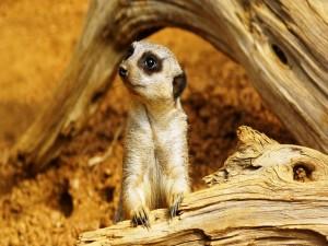 Un suricata junto a un tronco