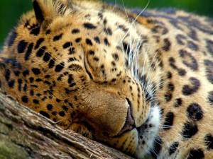 Postal: Leopardo dormido