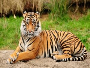 Postal: Un tigre relajado