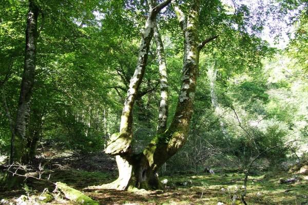 Árbol con varios troncos
