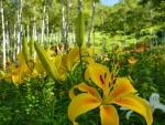 Lirios amarillos en el bosque