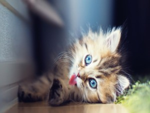 Un gatito mostrando su pequeña lengua