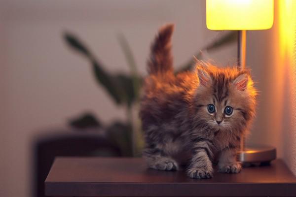 Gatito sobre una mesita