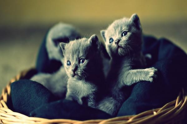 Pequeños gatos grises dentro de una cesta