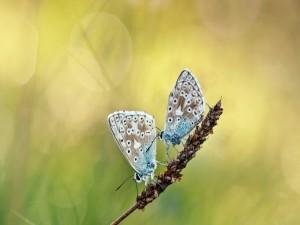 Dos mariposas sobre una espiga