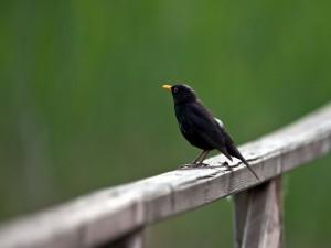 Postal: Pájaro negro sobre una barandilla de madera