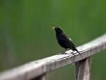 Pájaro negro sobre una barandilla de madera