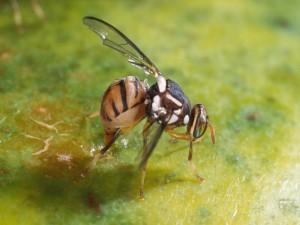 Mosca de la fruta (Bactrocera dorsalis)